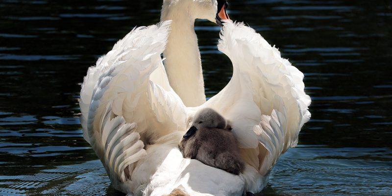 swan-2350668_1280